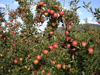 Chi siamo l le nostre mele l - Mele fuji coltivazione ...